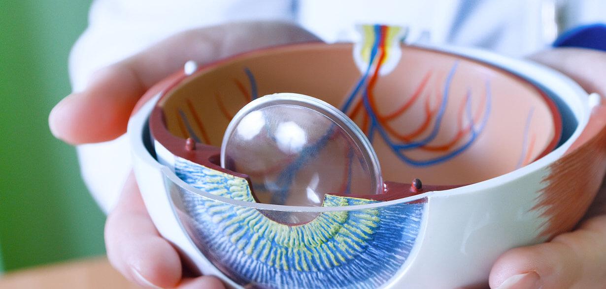 Représentation des différents organes de l'œil